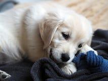 Cachorrinho novo do golden retriever na destruição completa da peúga! imagem de stock