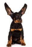 Cachorrinho novo do setter de gordon no fundo branco Imagem de Stock Royalty Free