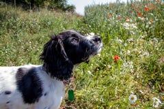 Cachorrinho novo do spaniel que olha acima enquanto estado em um prado imagem de stock