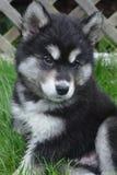 Cachorrinho peludo e macio de Alusky aproximadamente dois meses velho fotografia de stock