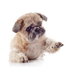 Cachorrinho pequeno amusing decorativo da raça de um shih-tzu imagens de stock