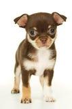 Cachorrinho pequeno bonito da chihuahua imagem de stock