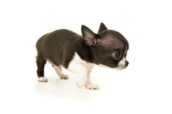 Cachorrinho pequeno bonito da chihuahua fotografia de stock