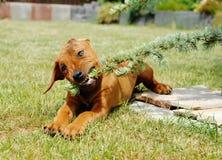 Cachorrinho pequeno bonito que joga no jardim Foto de Stock Royalty Free