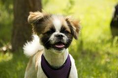 Cachorrinho pequeno branco-marrom manchado com maxilas abertas Fotos de Stock Royalty Free