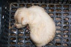 Cachorrinho pequeno branco que descansa em uma cesta imagens de stock