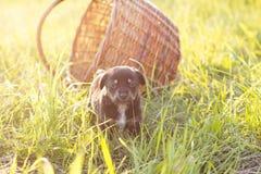 Cachorrinho pequeno com busket na grama, luz suave Imagens de Stock Royalty Free
