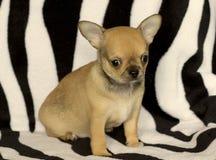 Cachorrinho pequeno da chihuahua Imagem de Stock