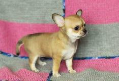 Cachorrinho pequeno da chihuahua Fotos de Stock Royalty Free