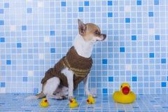 Cachorrinho pequeno da chihuahua no coração fotografia de stock