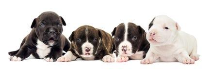 Cachorrinho pequeno em um fundo branco Imagens de Stock Royalty Free