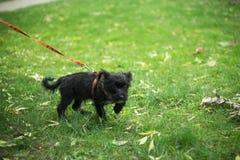 Cachorrinho pequeno em uma caminhada fotos de stock royalty free