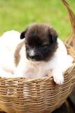 Cachorrinho pequeno que descansa na cesta imagens de stock