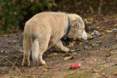 Cachorrinho pequeno que procura terras por alimentos e que aspira as folhas fotos de stock royalty free