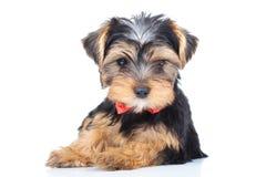 Cachorrinho pequeno que veste o descanso vermelho do bowtie Fotos de Stock Royalty Free