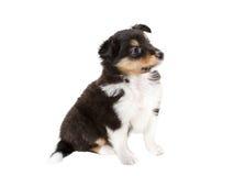 Cachorrinho pequeno Sheltie Fotografia de Stock