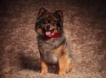 Cachorrinho pomeranian assentado bonito que veste um laço vermelho imagem de stock