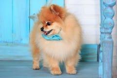 Cachorrinho pomeranian bonito em um laço azul Imagens de Stock Royalty Free