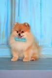 Cachorrinho pomeranian bonito que senta-se no assoalho de madeira Fotos de Stock Royalty Free