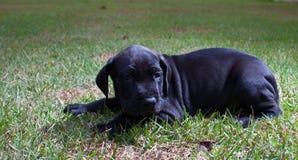 Cachorrinho preguiçoso Fotografia de Stock Royalty Free