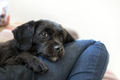 Cachorrinho preto Fotografia de Stock