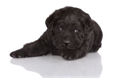 Cachorrinho preto adorável de labrador retriever Imagens de Stock Royalty Free