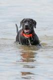Cachorrinho preto de labrador retriever na água Fotos de Stock Royalty Free