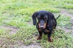 Cachorrinho preto do bassê com um olhar triste na grama com fundo borrado imagens de stock royalty free