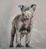 Cachorrinho preto do cão Foto de Stock Royalty Free