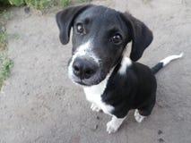 Cachorrinho preto e branco Fotografia de Stock