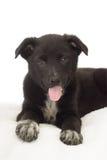 Cachorrinho preto engraçado Imagens de Stock