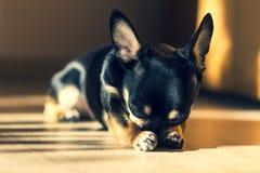Cachorrinho preto pequeno bonito da chihuahua foto de stock