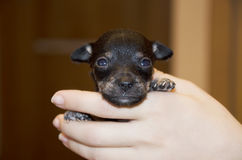 Cachorrinho preto pequeno minúsculo em seus braços Imagens de Stock Royalty Free