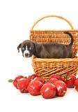 Cachorrinho produzido puro do pitbull na cesta com maçãs Fotografia de Stock