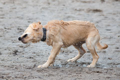 Cachorrinho que agita fora da água Imagem de Stock