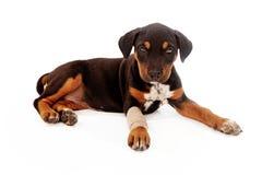 Cachorrinho que coloca com ferimento imagens de stock