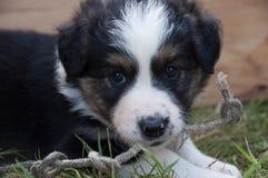 Cachorrinho que encontra-se na grama que mastiga em uma corda Fotografia de Stock