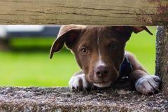 Cachorrinho que espreita através da cerca imagens de stock royalty free