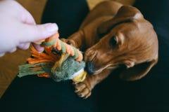 Cachorrinho que joga com proprietário Foto de Stock