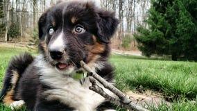 Cachorrinho que mastiga uma vara Foto de Stock