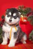 Cachorrinho que senta-se em um fundo vermelho Fotos de Stock Royalty Free