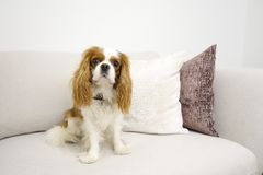 Cachorrinho que senta-se no sofá Foto de Stock Royalty Free