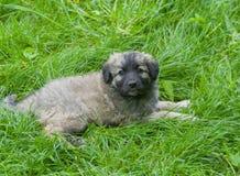 Cachorrinho que tem o resto na grama fresca Fotografia de Stock Royalty Free