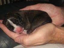 Cachorrinho recém-nascido Luna do pugilista Fotografia de Stock