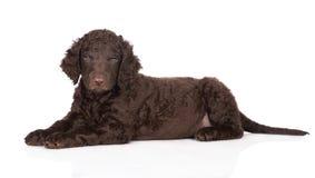 Cachorrinho revestido encaracolado do perdigueiro foto de stock