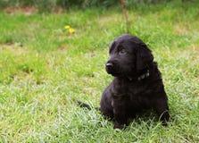 Cachorrinho revestido liso do perdigueiro Imagens de Stock