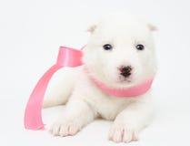 Cachorrinho ronco Imagens de Stock Royalty Free