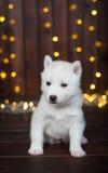 Cachorrinho ronco bonito, com uma festão do ano novo no fundo Fotografia de Stock
