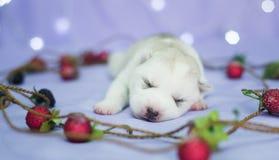 Cachorrinho ronco bonito, no fundo Imagem de Stock Royalty Free