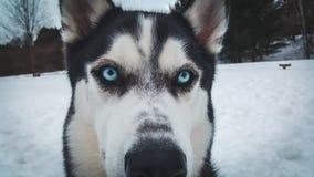 Cachorrinho ronco com olhos azuis fotos de stock